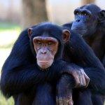Co jada szympans?